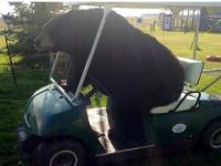 bear_in_golf_buggy